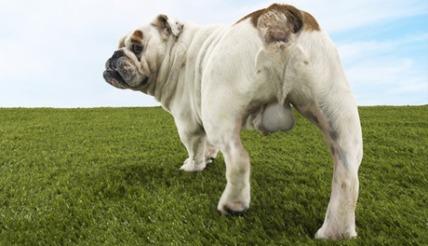 SBL_bulldog
